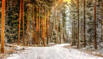Сосны в снегу загрузить