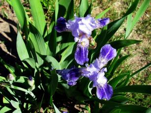 обоя цветы, ирисы, синий