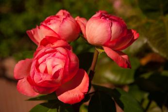обоя цветы, пионы, букет