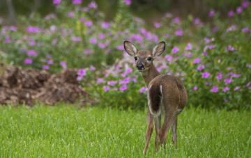 обоя животные, олени, цветы, большой, олень, природа, трава, окрас, шерсть