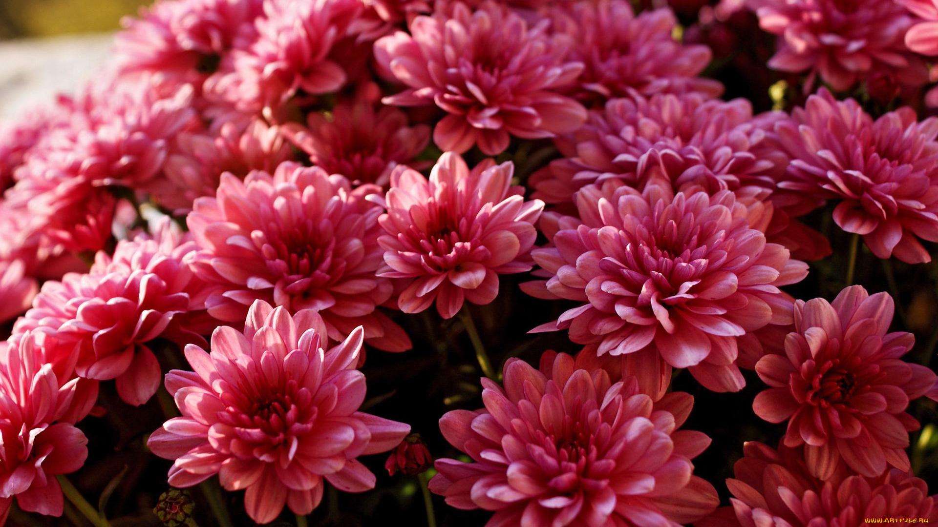 хризантема цветы  № 1353157  скачать