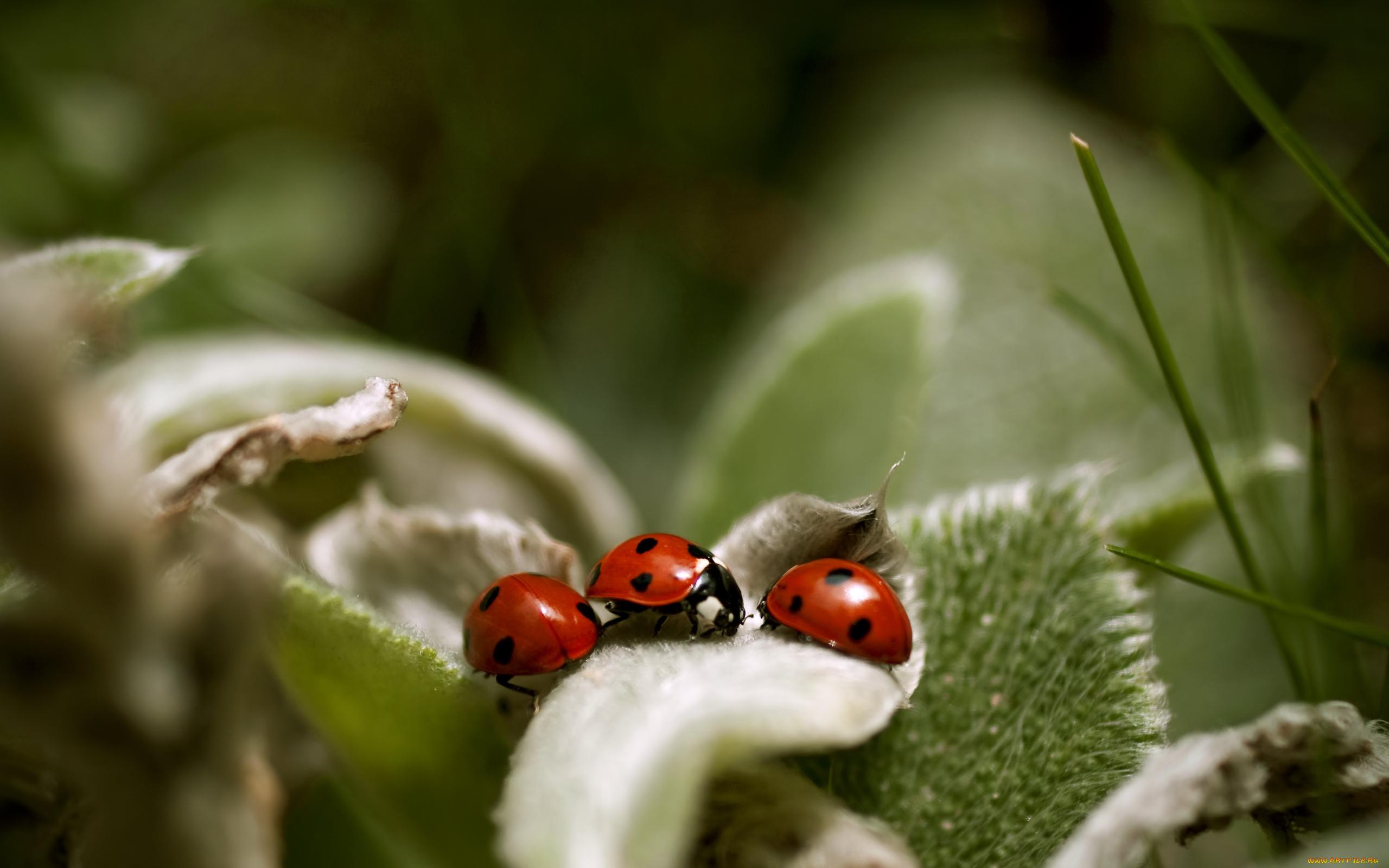 природа насекомое божья коровка цветок  № 3008087  скачать