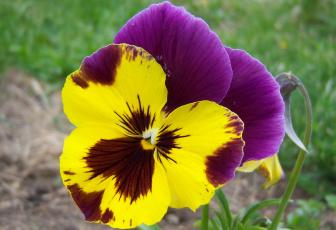 Картинка цветы анютины+глазки+садовые+фиалки двухцветный