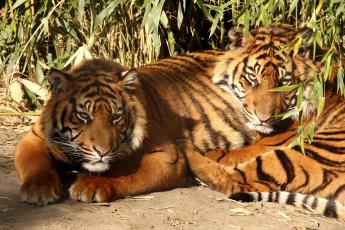 Картинка животные тигры хищники полосатый