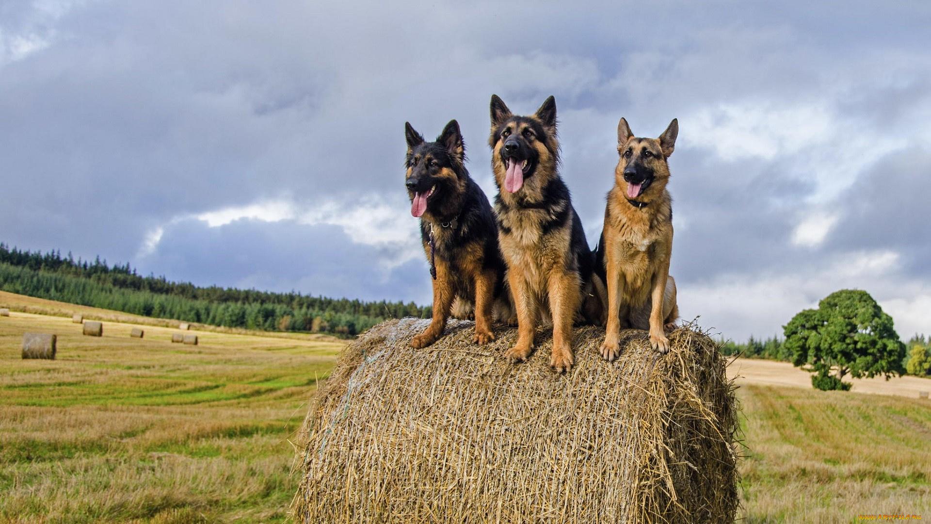 природа животные собака немецка овчарка nature animals dog the German shepherd  № 1004412  скачать