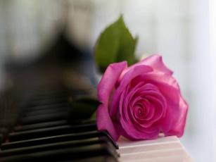 Картинка цветы розы роза розовый клавиши