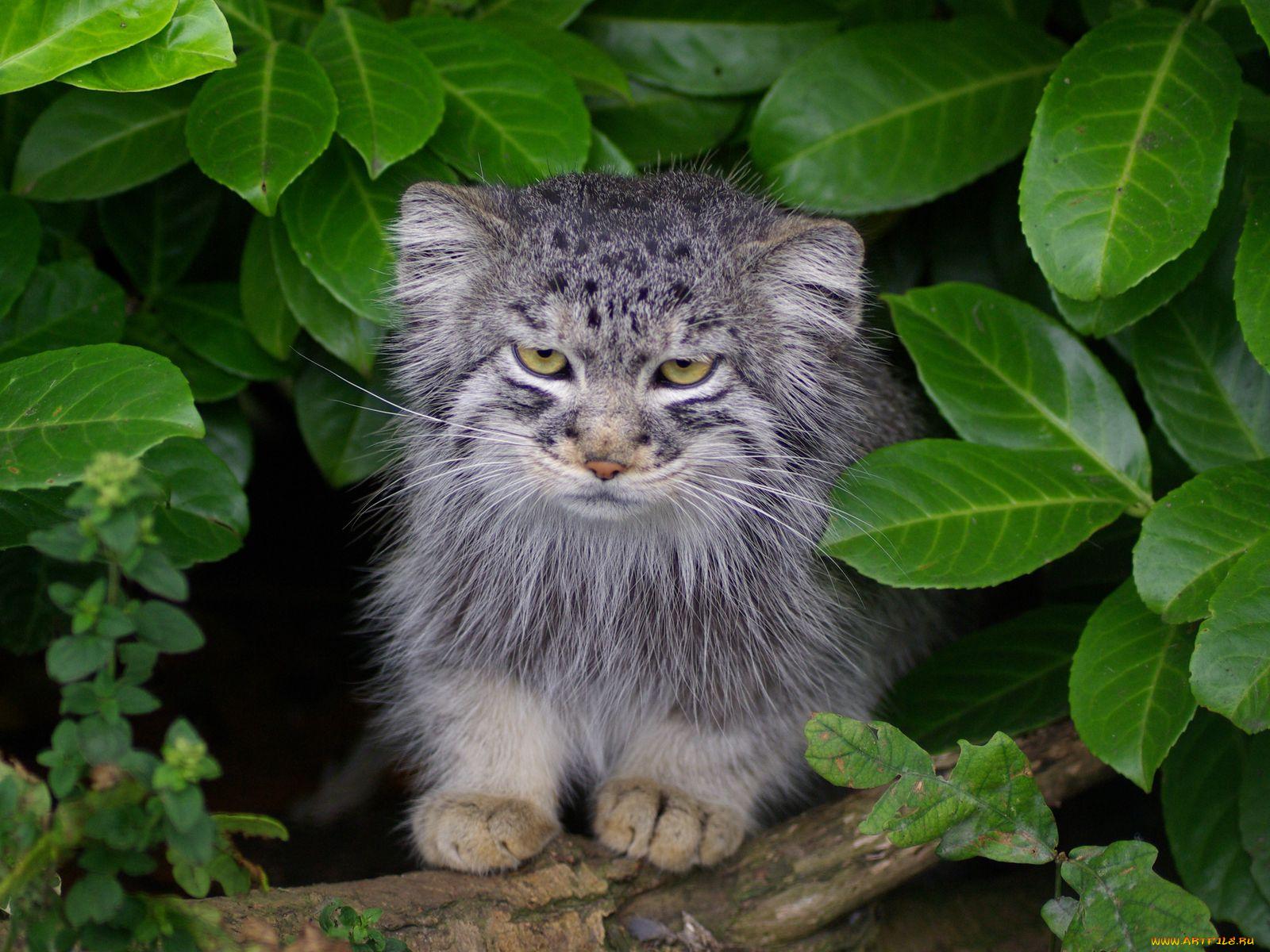 манул котенок дома фото так нарезаю