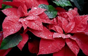 Картинка цветы пуансеттия красный листья капли