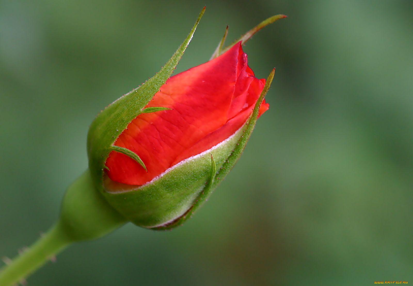 Фото цветка с закрытым бутоном