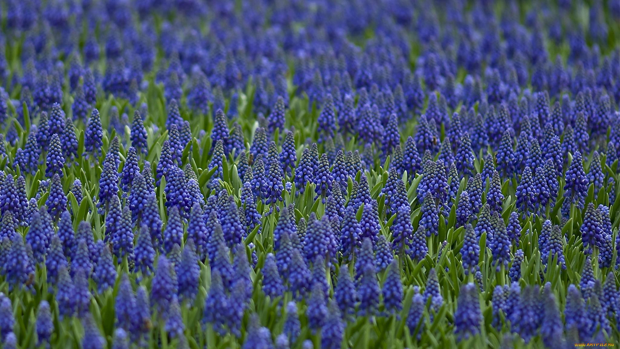 Мускари, синие цветы в хорошем качестве