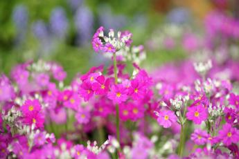 Картинка цветы примулы фиолетовые цветочки