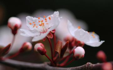 Картинка цветы сакура +вишня ветка макро весна вишня
