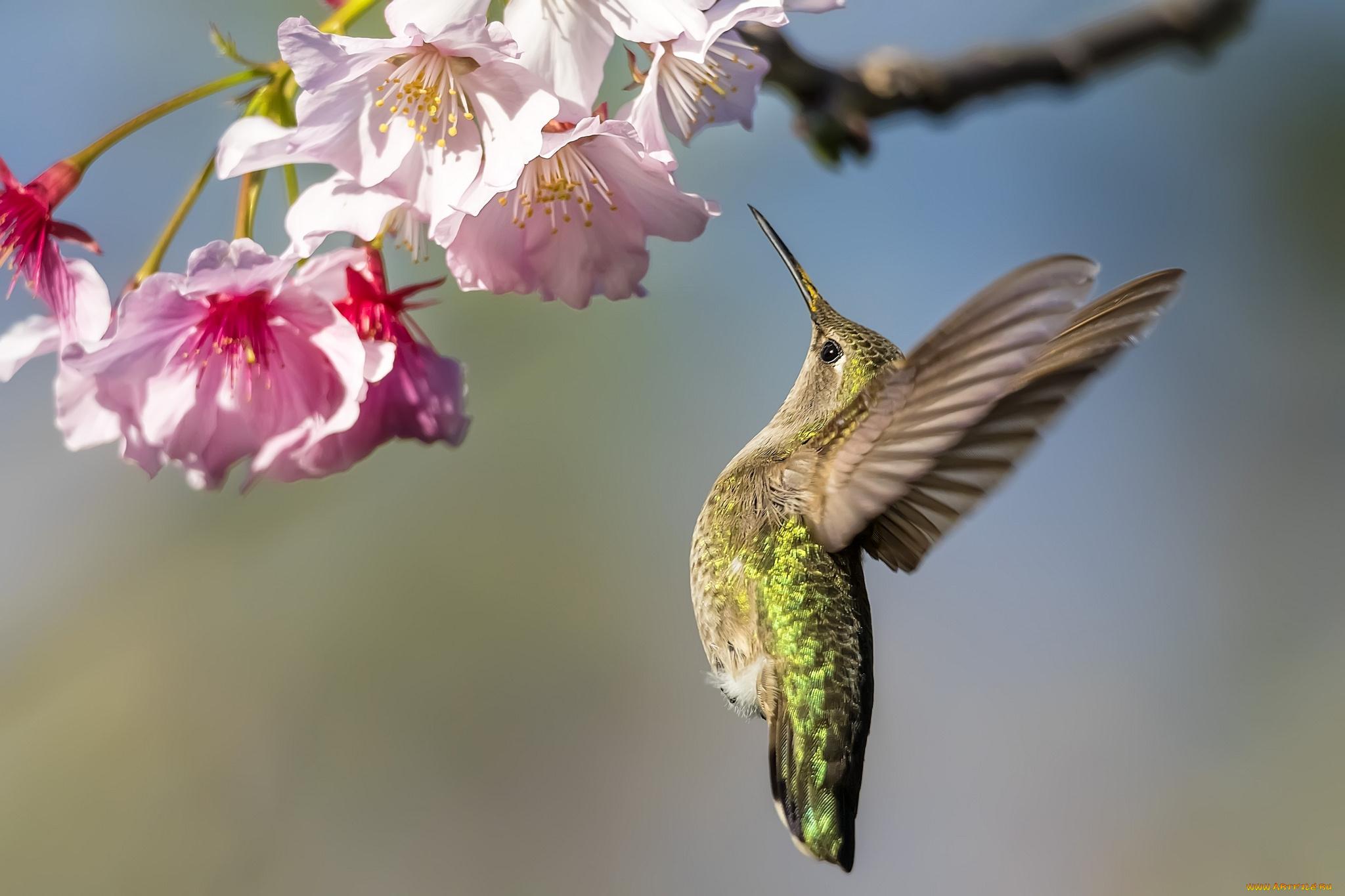 птица природа ветка колибри  № 1994331 бесплатно