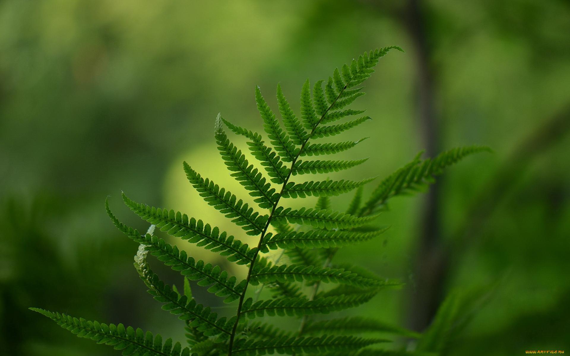 природа Папоротник листья без смс
