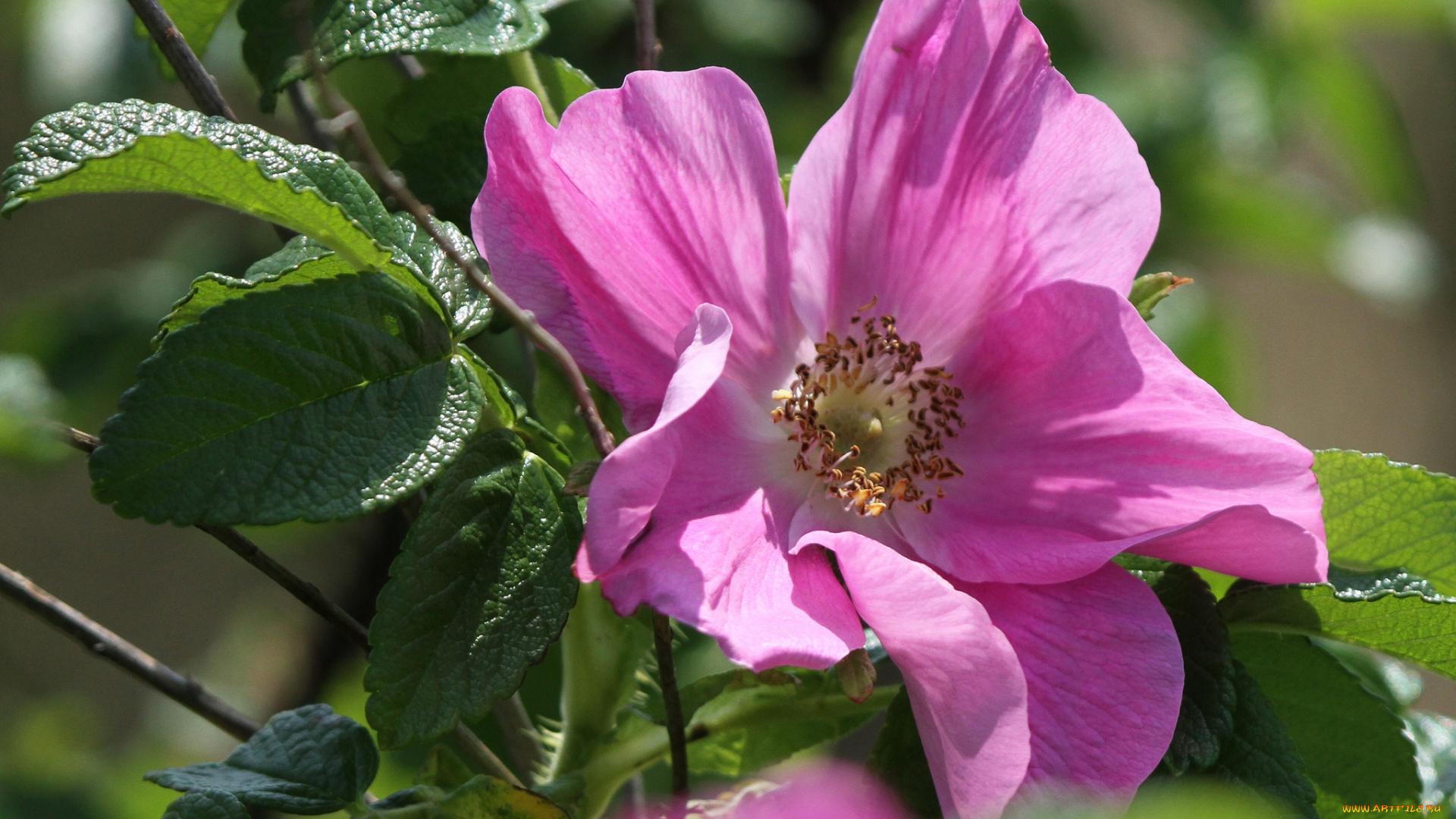 пошаговых фото картинки на аву цветы шиповника хорошего дня любимому