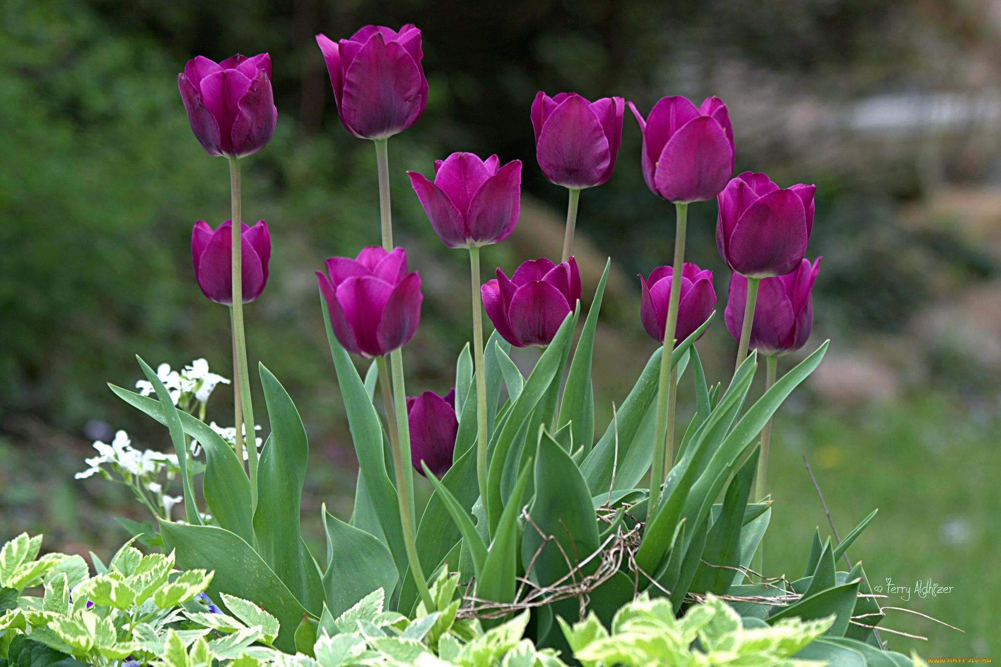 Фиолетовые тюльпаны в саду  № 1325863 без смс