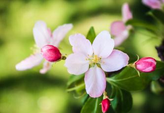 Картинка цветы цветущие деревья кустарники бутоны макро весна цветение