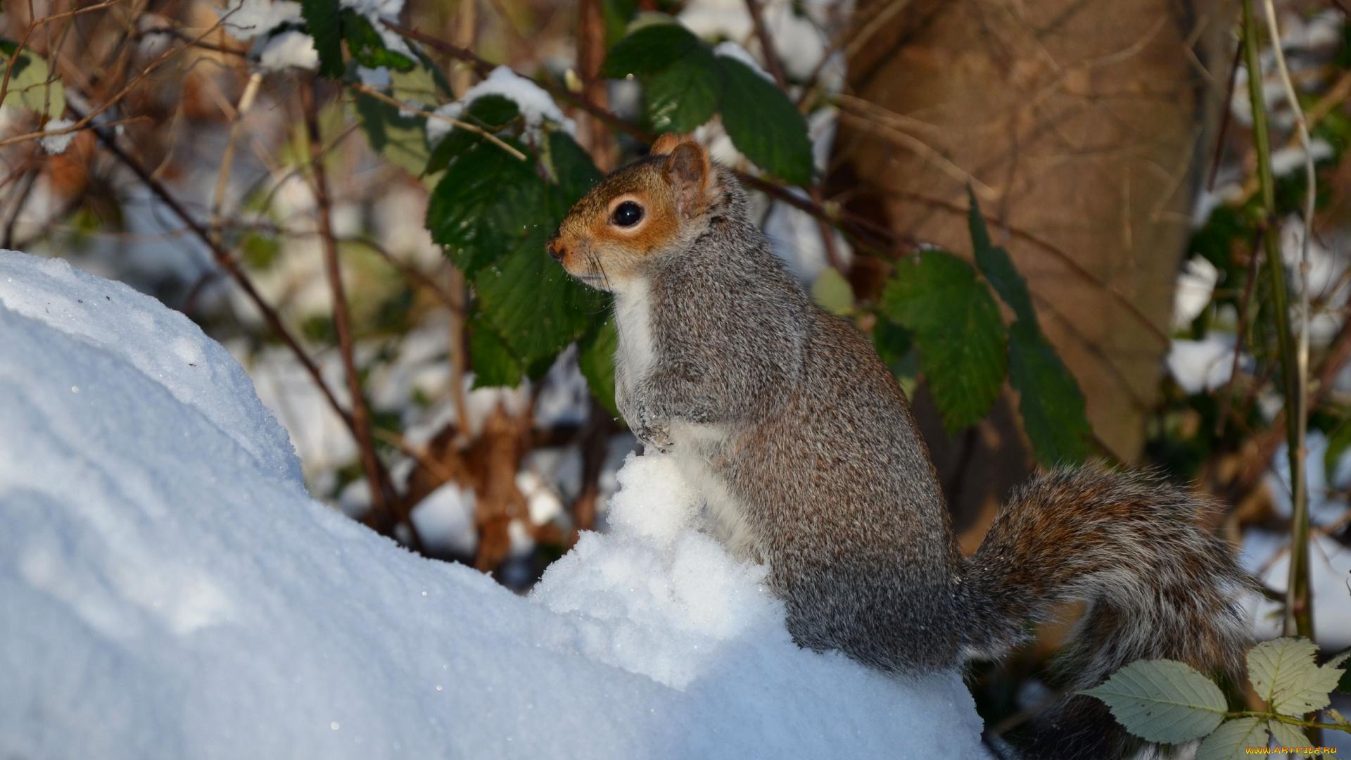 природа белка снег животные подборки
