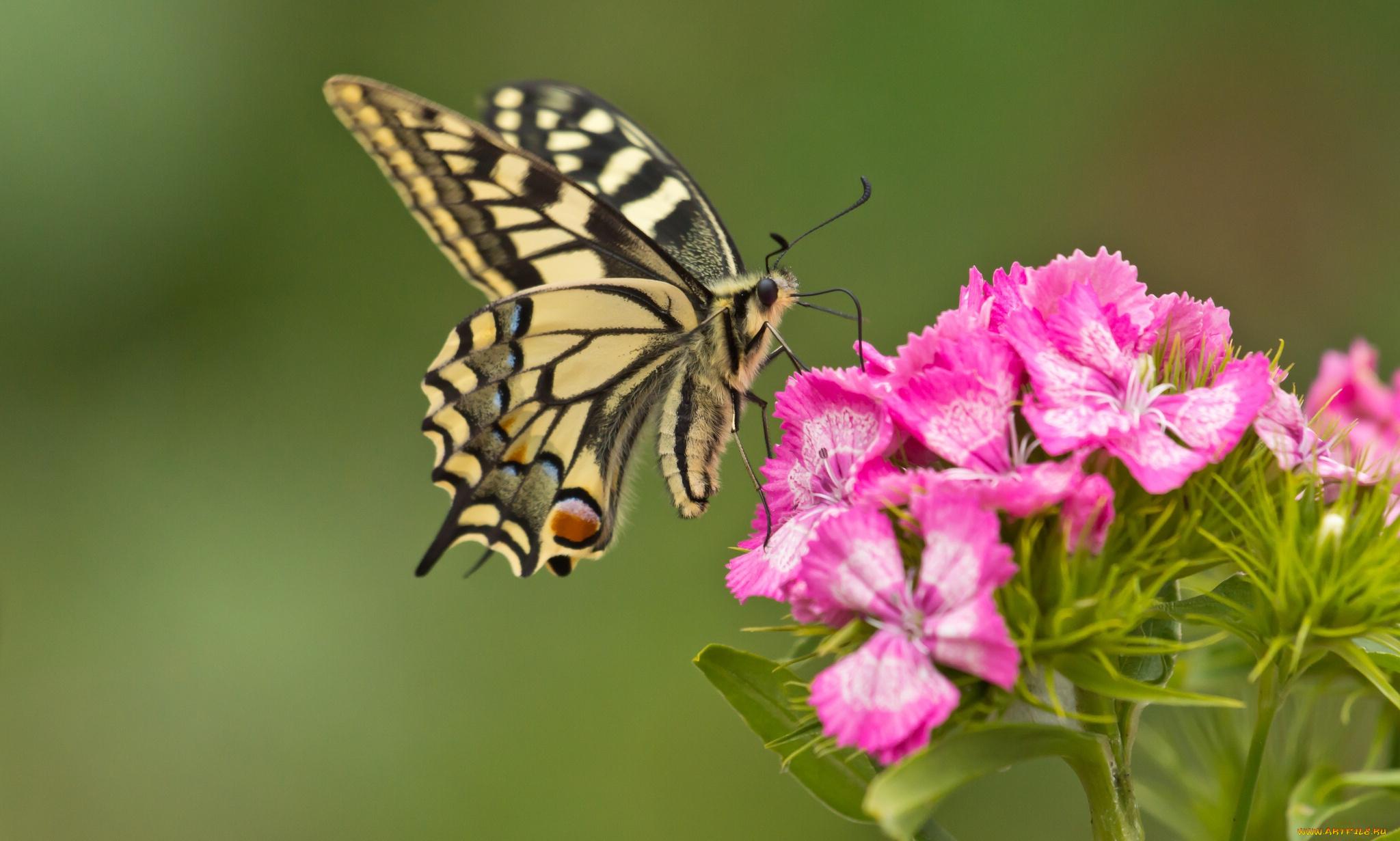 Бабочка на цветах бесплатно