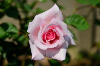 Картинка цветы розы макро бутон