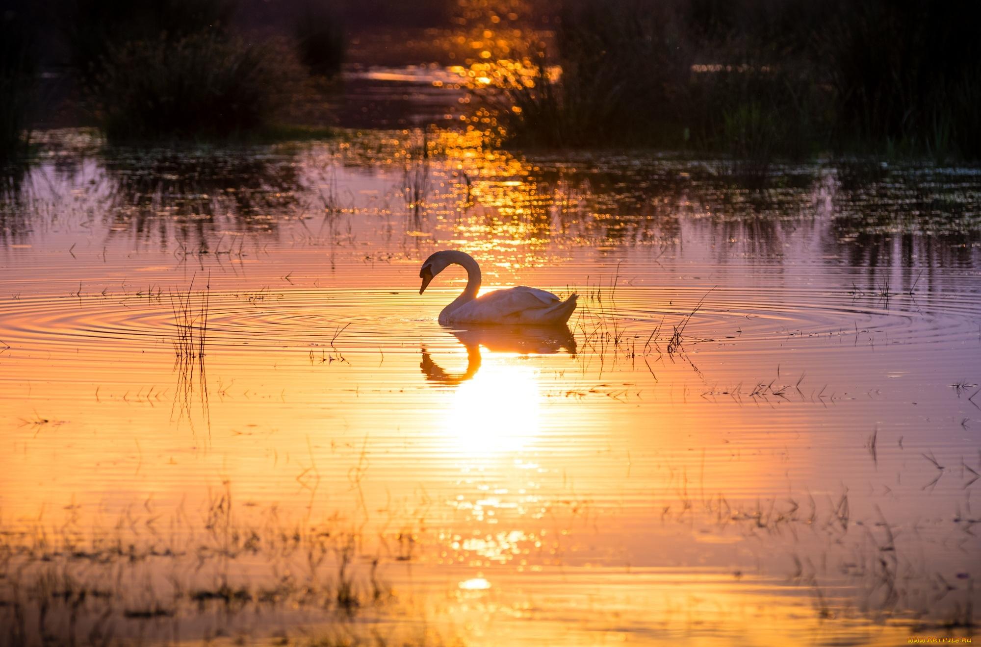 Закат и лебедь без смс