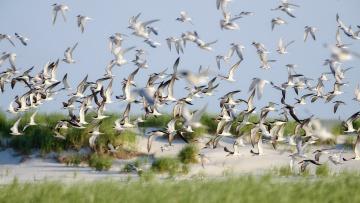 Картинка животные Чайки +бакланы +крачки birds summer skimmers nature lido beach flight