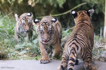 Картинка животные тигры шерсть хищник окрас тигр