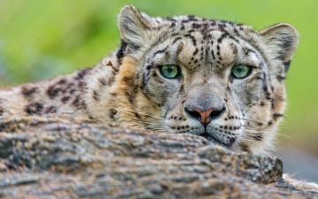 обоя животные, снежный барс , ирбис, кошки, портрет, взгляд, камень, снежный, барс, морда, выразительный, дикие, зоопарк, крупный, план, зеленые, глаза