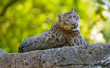 обоя животные, снежный барс , ирбис, лето, барс, взгляд, лежит, зеленый, фон, снежный, красавец, дикие, кошки, боке, зоопарк, эффектно, камень, поза