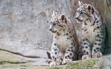 обоя животные, снежный барс , ирбис, сидят, детеныши, милые, фон, снежный, барс, котята, морда, дикие, кошки, боке, пара, малыши, барсы, зоопарк, камни