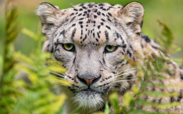 обоя животные, снежный барс , ирбис, зеленые, глаза, зоопарк, кошки, камень, крупный, план, портрет, взгляд, морда, снежный, барс, дикие, выразительный
