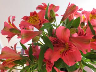 обоя цветы, альстромерия, букет, цветение, альстамерия