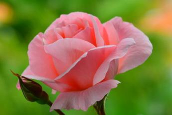 Картинка цветы розы розовый цвет