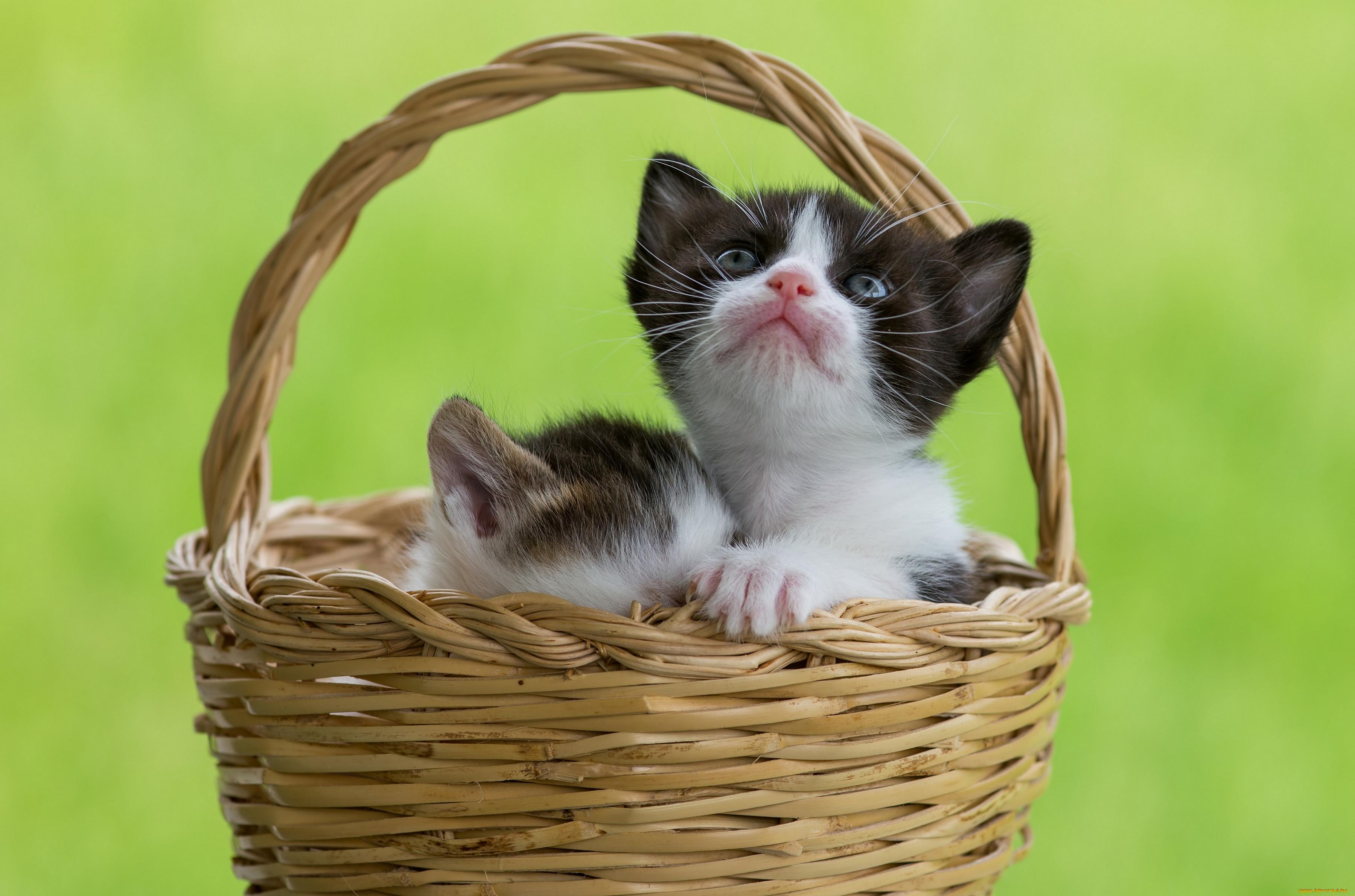 котенок корзина ромашки kitten basket chamomile без смс