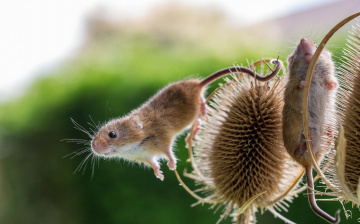 Картинка животные крысы +мыши колючки крохи