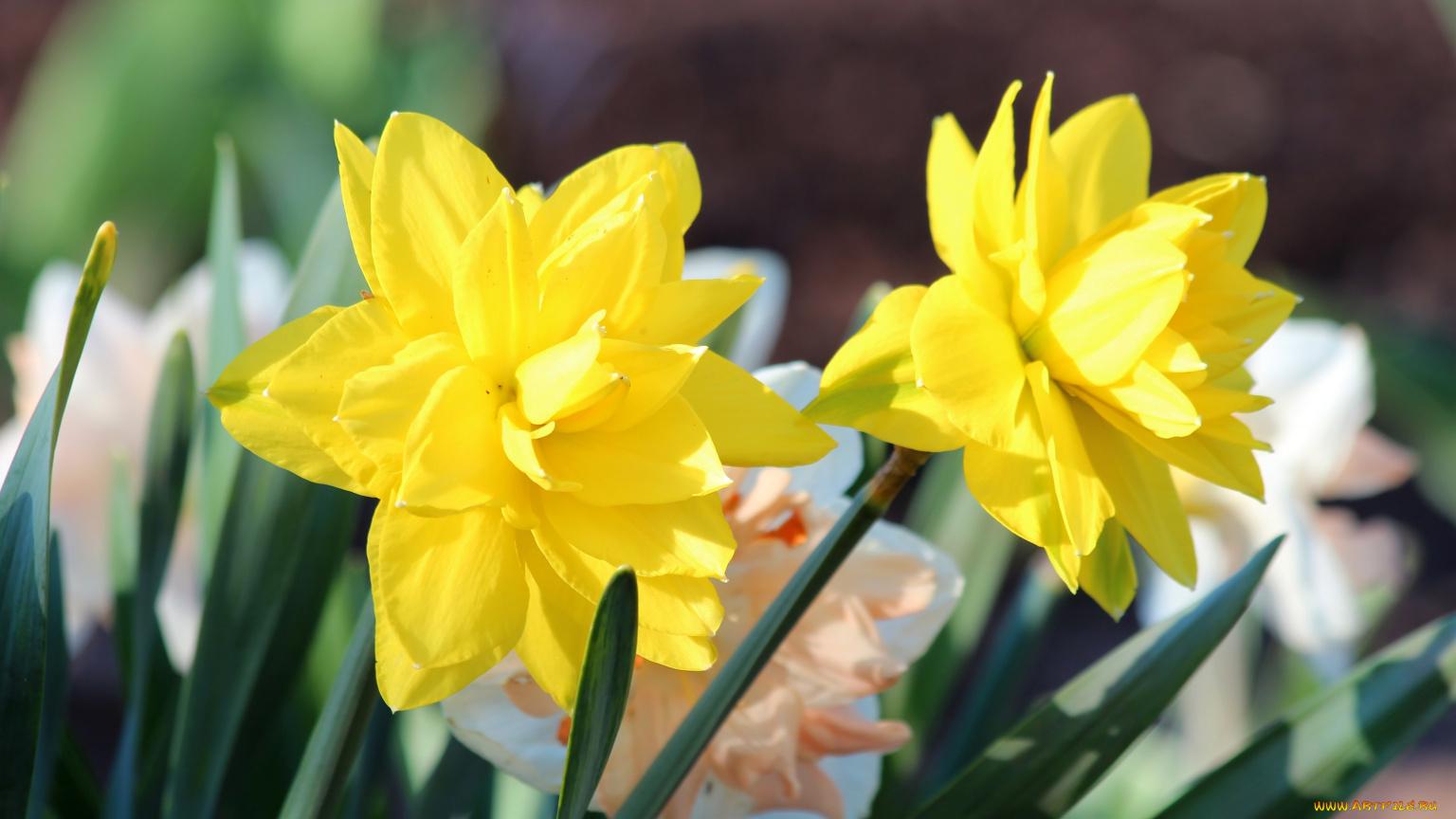 природа цветы желтые нарцисс бесплатно