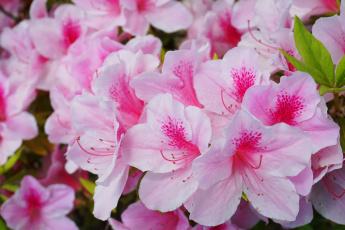 обоя цветы, рододендроны , азалии, розовые, цветение, куст