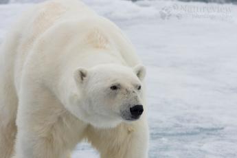 Картинка животные медведи снег медведь