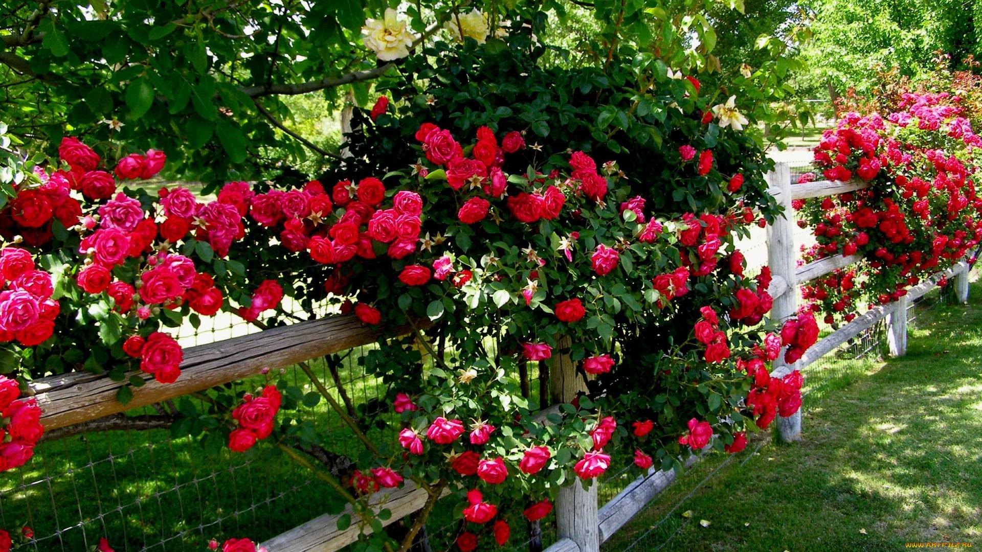 Розы куст забор  № 3015300 загрузить
