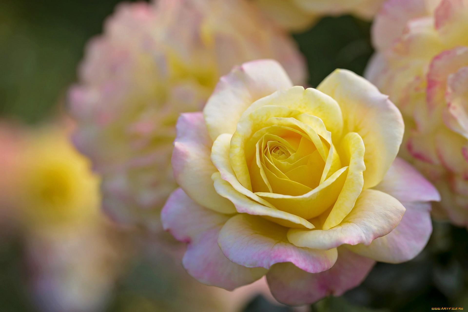 нежная роза скачать