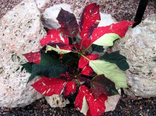 обоя цветы, пуансеттия, рождественская, звезда