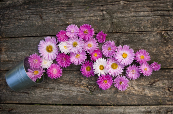 обоя цветы, астры, ведро, розовый