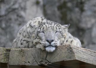 обоя животные, снежный барс , ирбис, снежный, барс, морда, кошка