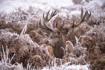 обоя животные, олени, олень, природа, трава, иней, животное, снег, зима