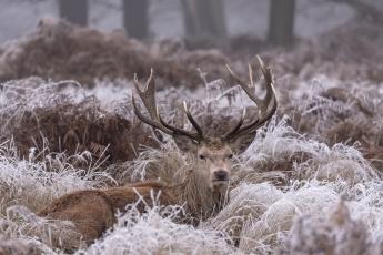 обоя животные, олени, животное, снег, зима, природа, иней, трава, олень