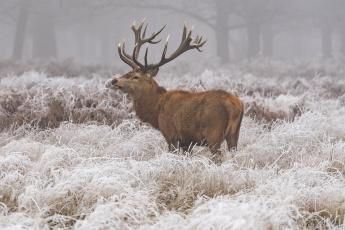 обоя животные, олени, зима, иней, снег, трава, олень, природа, животное