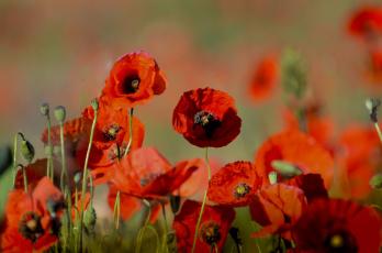 Картинка цветы маки лепестки мак луг поле природа