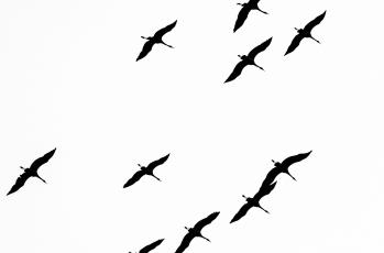 Картинка рисованное минимализм птицы свобода полёт