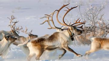 обоя животные, олени, упряжка, снег, зима, северный, олень
