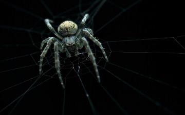 обоя животные, пауки, spider, ambush, web